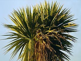 Cabbage trees are a common colonising species in Southland.