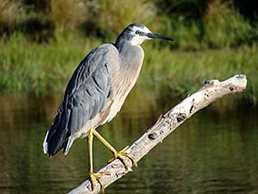 White-faced heron at Rance's pond.