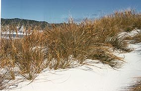 Native Pingao growing on sand dunes.