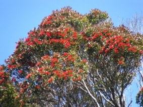 Rata Forest at Bluff Hill