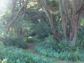 Totara Forest at Daffodil Bay, Sandy Point, Invercargill