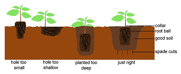 How best to place your plant in the ground.